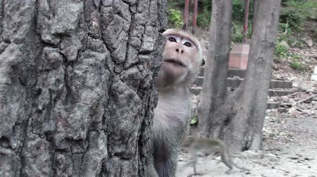 macaca fascicularis : A Long-tailed Macaque (Macaca fascicularis), also known as Crab-eating Macaque Monkey, acts in a very strange way. It seems to be mimicking human speech.