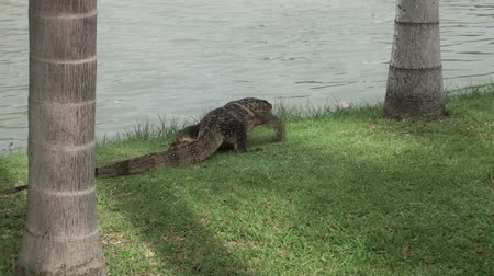 ящерица : A large Asian Water Monitor Lizard (Varanus salvator salvator) walks away and slips into the water. Taken in Thailand.