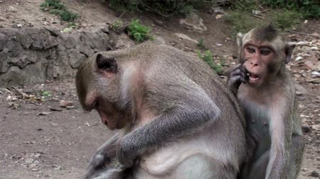 macaca fascicularis : A female Long-tailed Macaque (Macaca fascicularis), also known as Crab-eating Macaque Monkey, and her daughter groom and relax. Taken in Thailand.