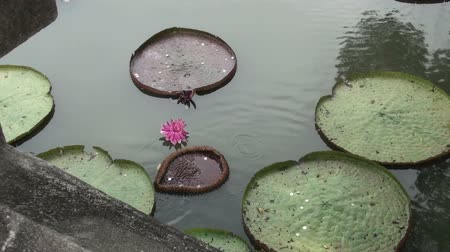 lucky charm :  Somebody throws coins onto lotus leaves (Nelumbo nucifera) from a bridge for good luck. Taken in Kings (Rama IX) Park in Bangkok.