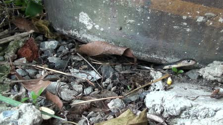 змей : A Baby Snake retreats back under a flower pot. Taken in Thailand. Стоковые видеозаписи
