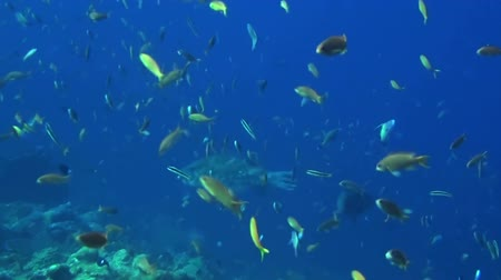 vida selvagem : Many fish swimming in beautiful blue water. Taken in Komodo, Indonesia.