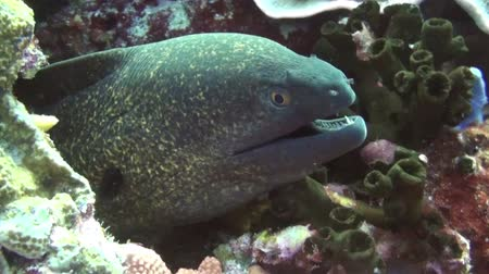 yılan : giant moray (Gymnothorax javanicus) Taken in Komodo, Indonesia. Class: Actinopterygii Order: Anguilliformes Family: Muraenidae Genus: Gymnothorax Species: G. javanicus Gymnothorax javanicus