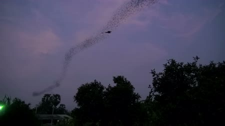 nietoperz : Bat Evening Flight Interrupted By A Drongo.  A huge number of bats in a swirling and waving flight line pass over a tree line. A Racket Tailed Drongo springs from the trees to catch an evening snack. The sky is a dark evening purple.