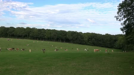 British Cattle - Time Lapse.   A small herd of British cattle wander across a field. Time-lapse