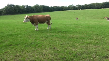 A Cow In A Lush English Pasture.   A cow stands proudly in a green and lush pasture in southern England.