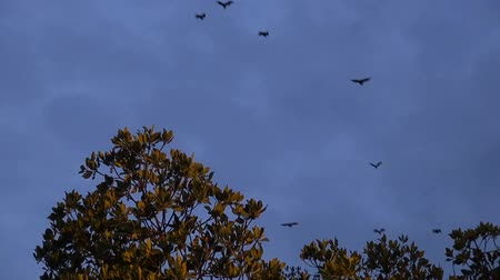 Evening Flight Of Fruit Bats From A Mangrove Swamp.   Fruit Bats (Order: Chiroptera, Suborder: Megachiroptera, Family: Pteropodidae, Genus: Pteropus) leave a mangrove swamp in Thailand silhouetted against a dark blue evening sky.