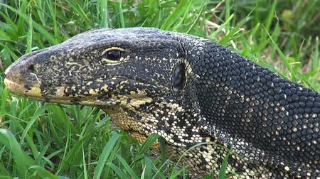 Close Zoom In To A Monitor Lizard.   Zoom in to an Asian Water Monitor Lizards (Varanus salvator) head and eye.