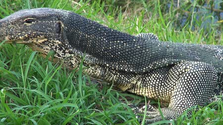 Zoom out from a closeup of an Asian Water Monitor Lizard  (Varanus salvator) exposing its upper body and head.
