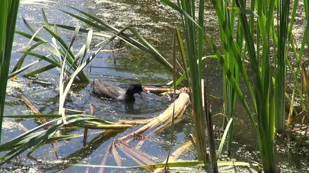 A Coot(Rallidae, Fulica) feeds amoung the reeds in a small pond in England. Стоковые видеозаписи