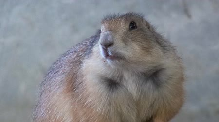 A cute Prairie Dog stands alone. It sniffs the air and watches the camera cautiously.
