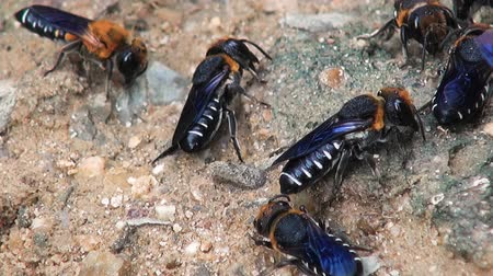 worker bees : Several bees of the order Hymenoptera, Family Halictidae, Tribe Halictini, Genus, Halictus Stock Footage