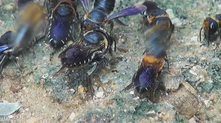antennae : Bees of the order Hymenoptera, Family Halictidae, Tribe Halictini, Genus, Halictus, feed on mineral rich soil.