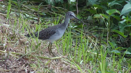 A Green Sandpipers stands next to a pond. Class: Aves, Order: Charadriiformes, Family: Scolopacidae, Genus: Tringa, Species: T. ochropus