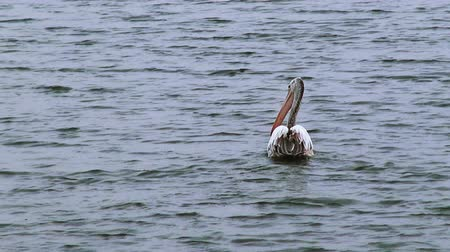 pelicans : A Spot-Billed Pelican or Grey Pelican swims away from the camera. Class: Aves, Order: Pelecaniformes, Family: Pelecanidae, Genus: Pelecanus, Species: P. philippensis.