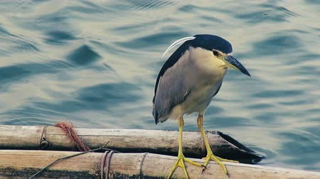 A Black-Crowned Night Heron (Nycticorax nycticorax) stands on a bamboo pole waiting for a passing fish. Class: Aves, Order: Pelecaniformes, Family: Ardeidae, Genus: Nycticorax, Species: N. nycticorax. Стоковые видеозаписи