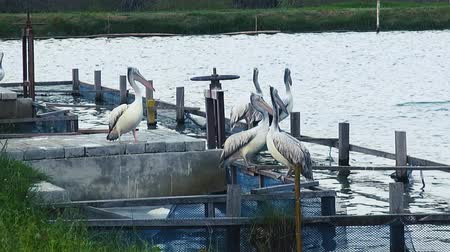 pelicans : Spot-Billed Pelicans or Grey Pelicans congregate around a fish pen. Class: Aves, Order: Pelecaniformes, Family: Pelecanidae, Genus: Pelecanus, Species: P. philippensis. Stock Footage