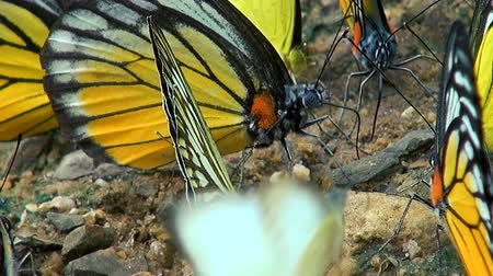 A macro shot of Butterflies searching for minerals in the soil of the jungle floor.
