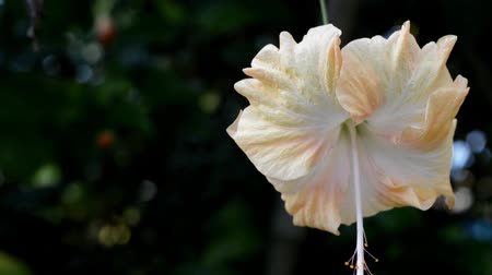 히비스커스 : white and yellow Hibiscus flower on the garden