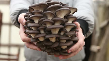 üdvözlettel : man holding a large oyster mushrooms