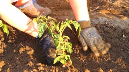 toprak : woman in tomato seedlings are planted flower bed