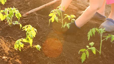 talaj : woman in tomato seedlings are planted flower bed