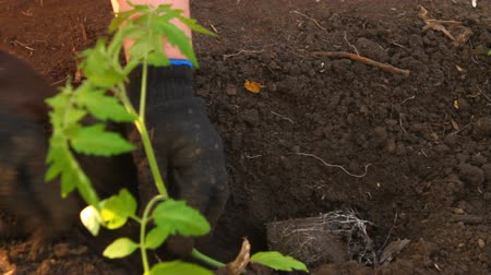 dirt : woman in tomato seedlings are planted flower bed