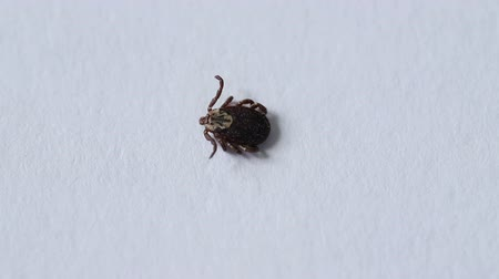 厄介な : tick family Ixodes crawling on a white paper.