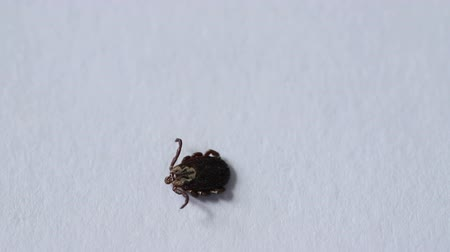 tick : tick family Ixodes crawling on a white paper.
