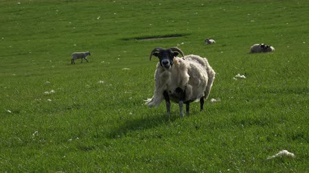 проливая : A sheep shedding wool in a green field on a warm summers day. Стоковые видеозаписи