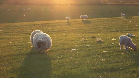 koyun : Sheep and young lambs in a green field at sunset on a warm summers day.