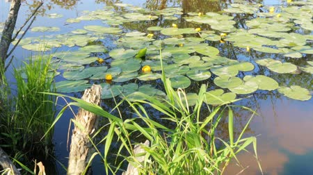 catástrofe : Pond in nature with water lilies summer
