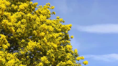 Yellow blooming of mimosa tree in spring. Blue sky as a background. Dostupné videozáznamy