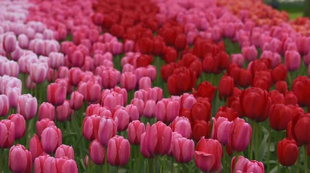 Bright flowerbed in Keukenhof - famous Holland spring flower park