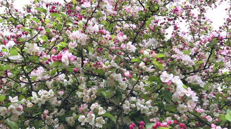 damascos : Pink Flowers Blooming Peach Tree at Spring