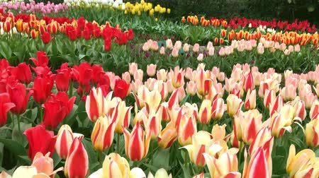 canteiro de flores : Bright tulips flowerbed in Keukenhof - famous Holland spring flower park
