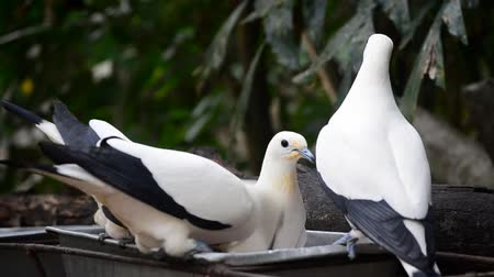 Beautiful Pie Imperial Pigeon (Ducula bicolor) standing and eating food on branch.