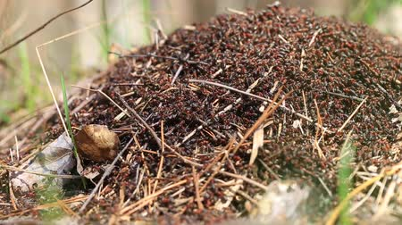 Red wood ants (Formica rufa) build a new anthill in the forest Vídeos
