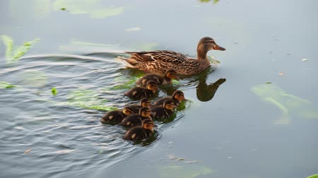 mallard : Female mallard duck with ducklings swimming on lake
