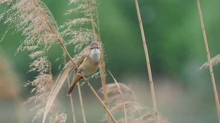 певчая птица : Great reed warbler (Acrocephalus arundinaceus) perched on reed stem against blurred green background and singing