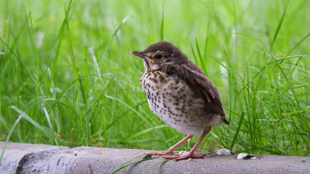Closeup of song thrush chick perching on green grass at evening. Juvenile Song thrush want to sleep Vídeos