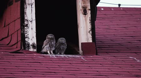 poddasze : Two cute little owls live in the attic on the roof