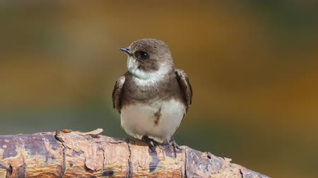 collared : Closeup of a sand martin (Riparia riparia) European sand martin or bank swallow