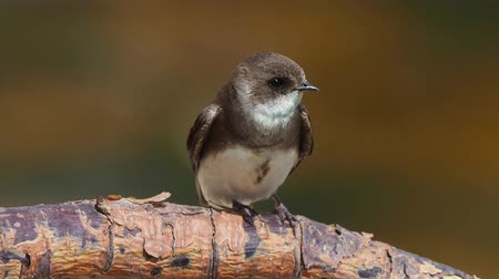 nyel : Riparia riparia European sand martin or bank swallow Stock mozgókép