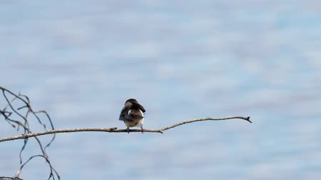 collared : European sand martin