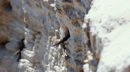 collared : The sand martin (Riparia riparia) fly into the sand cliff. European sand martin or bank swallow
