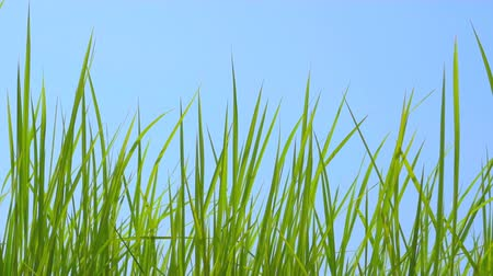 yemyeşil bitki örtüsü : Slow motion grass on windy on blue sky background