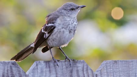 ave canora : Mockingbird on a wooden fence with out of focus background.