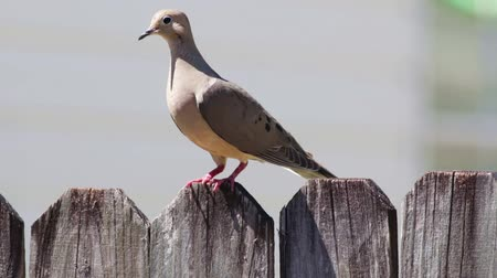 luto : Mourning Dove on a fence looks around then flies away. Stock Footage