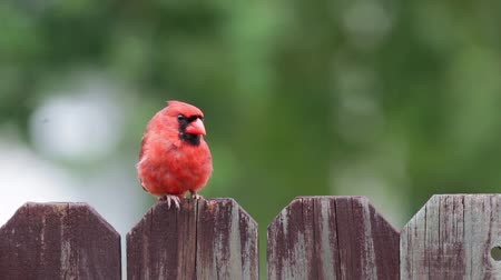 ave canora : Cardinal red bird on a wooden fence.